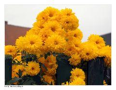 Herbstmittwochsblümchen
