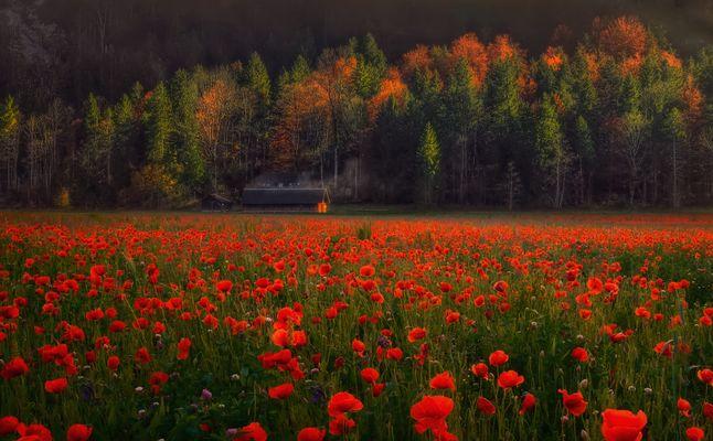 Herbstmohn
