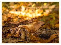 Herbstpilze