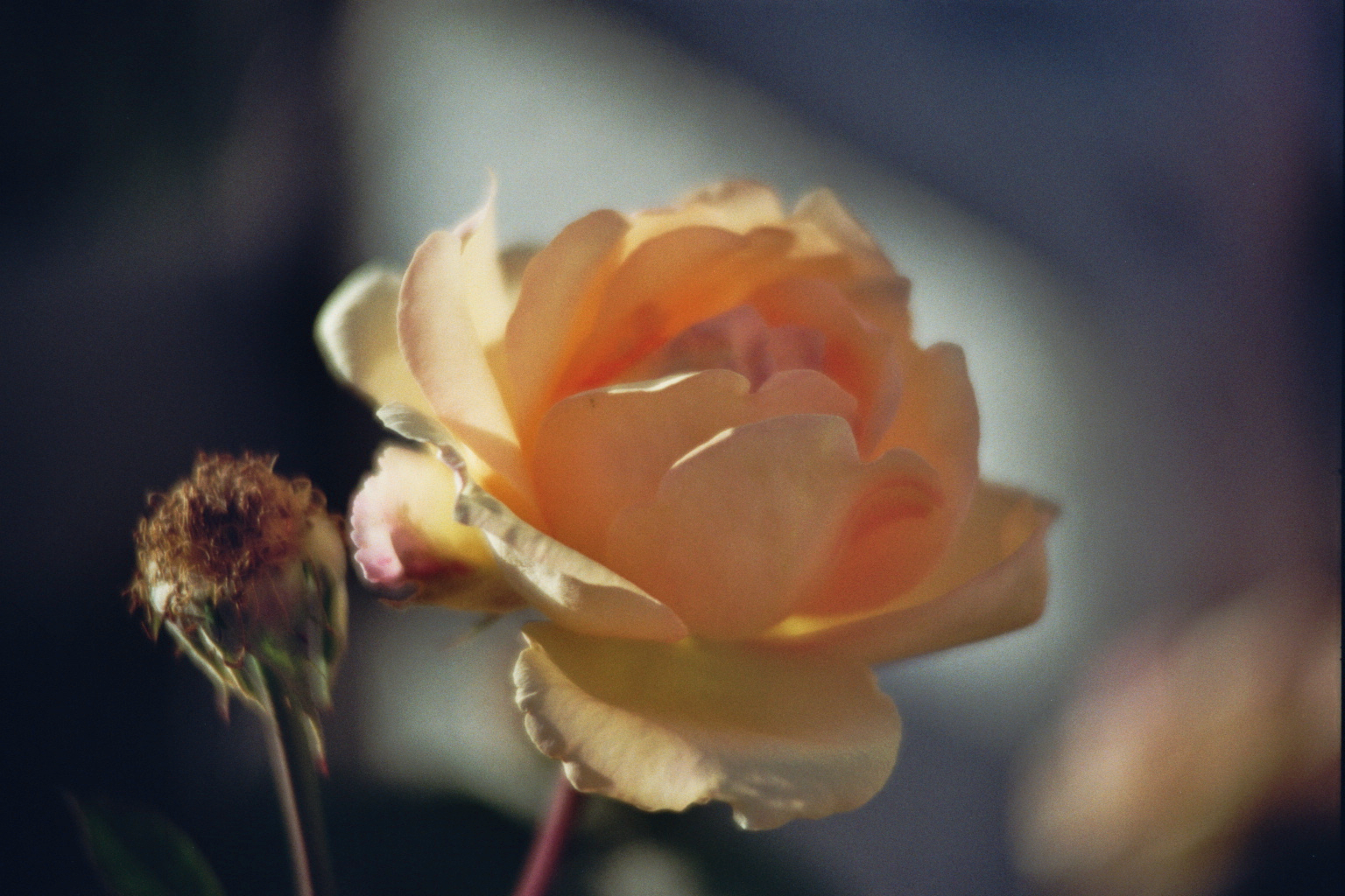 Herbstrose