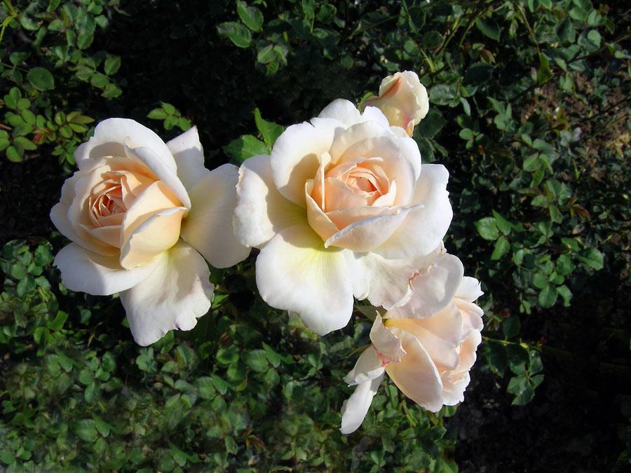 Herbstrose 2