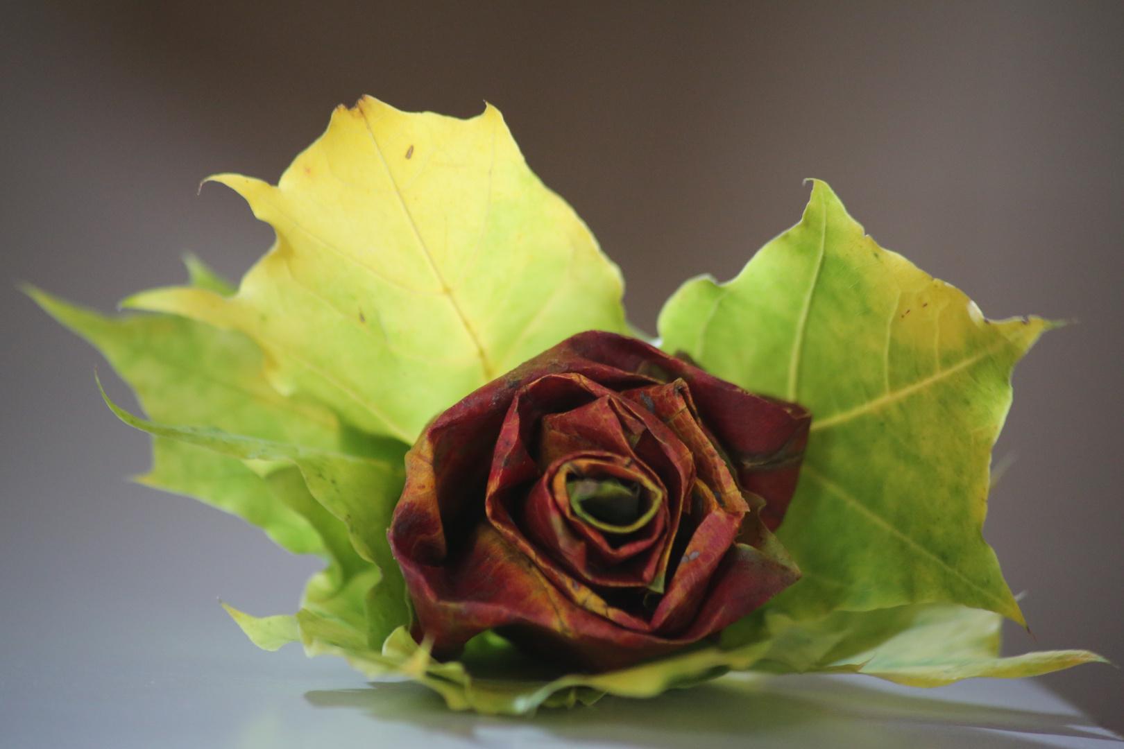 Herbstrose 2 oder ein Bild aus 5 Ahornblättern