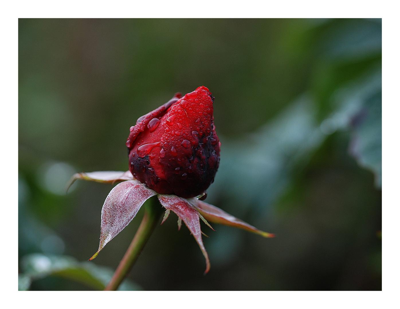 Herbstrose....