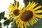 Herbstsonnenblumen