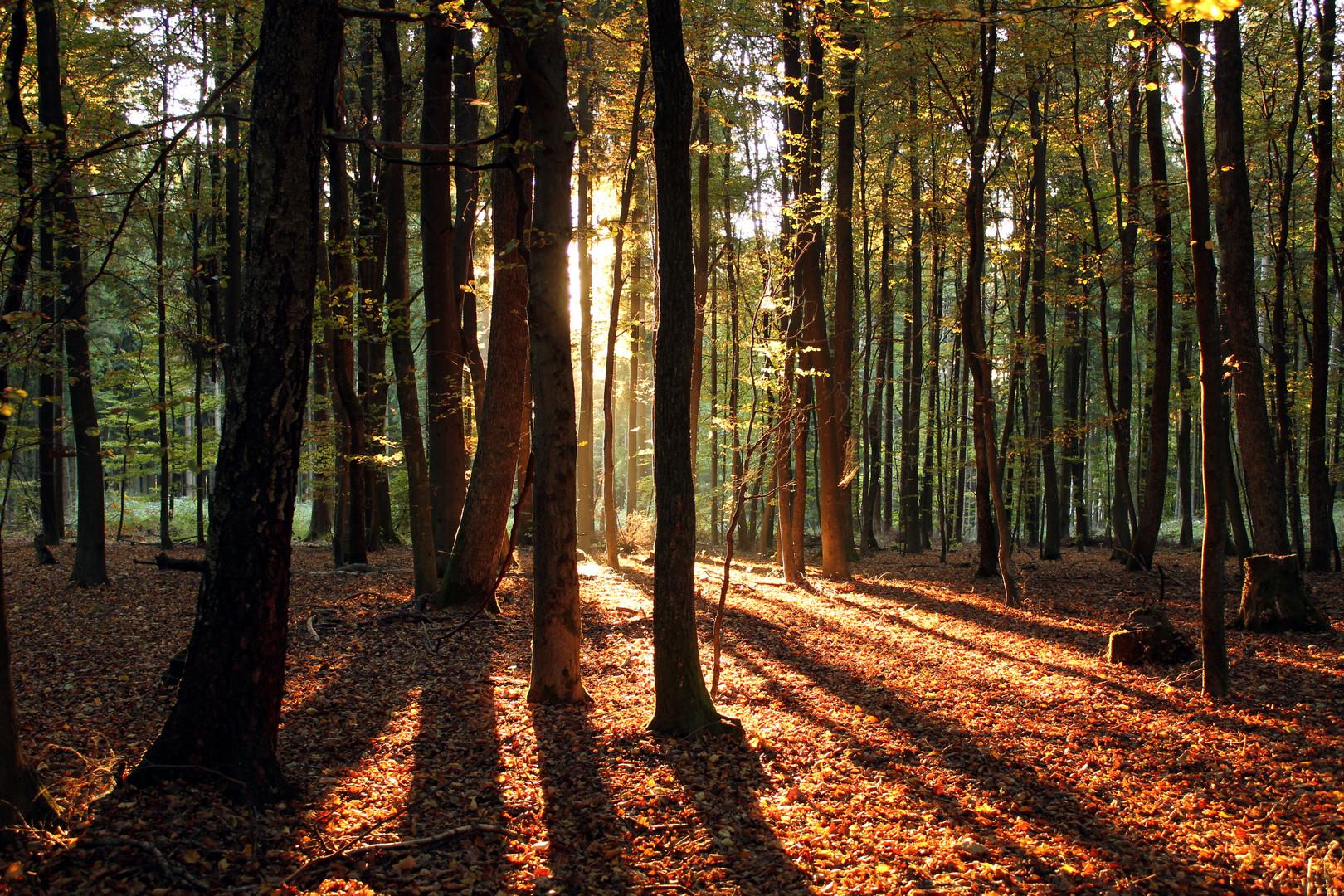 Herbstsonnenwald