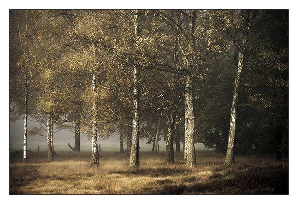 Herbststimmung im Birkenwald