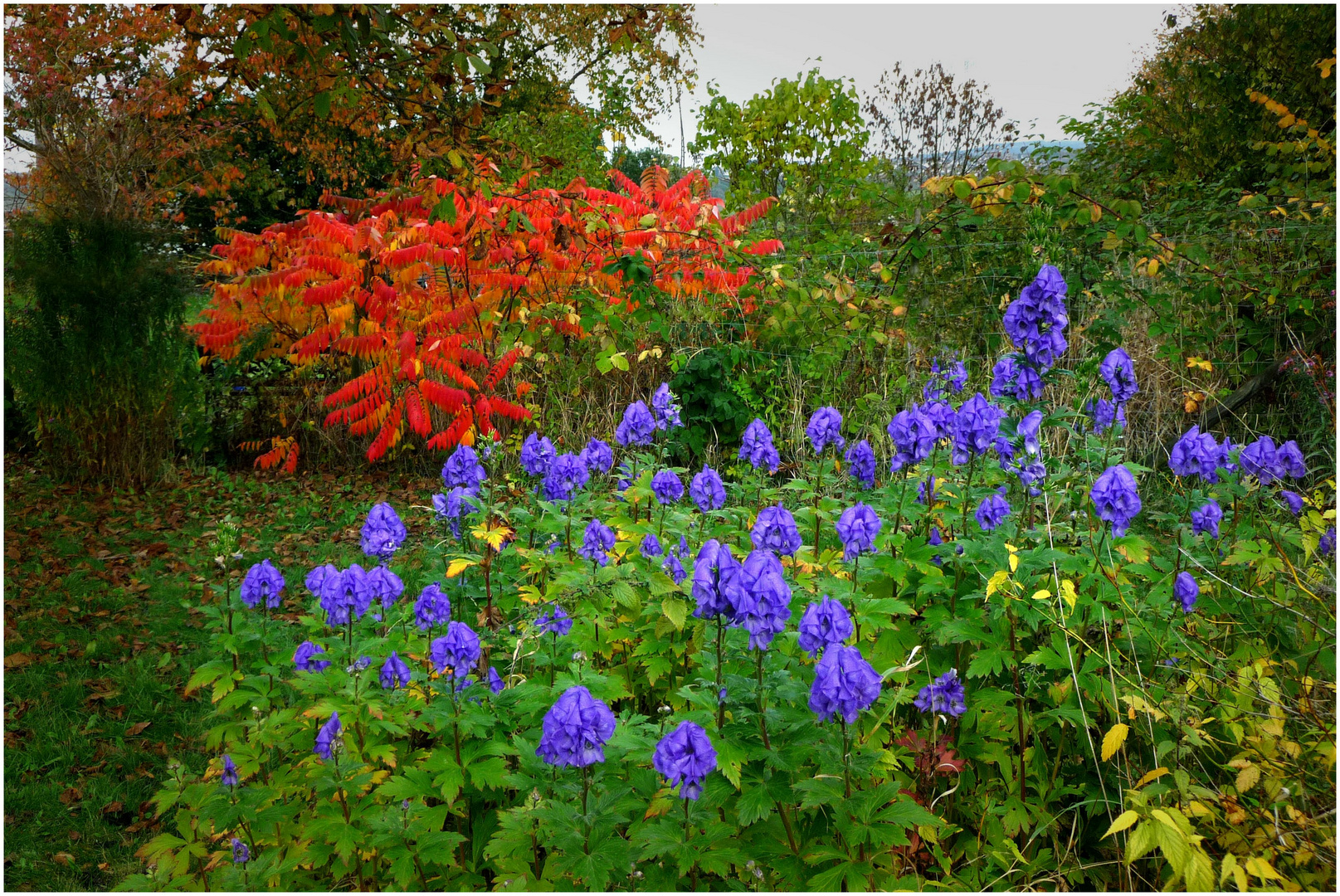 Herbsttöne (Essigbaum und Rittersporn)