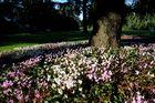 Herbstveilchen im Arboretum Ellerhoop