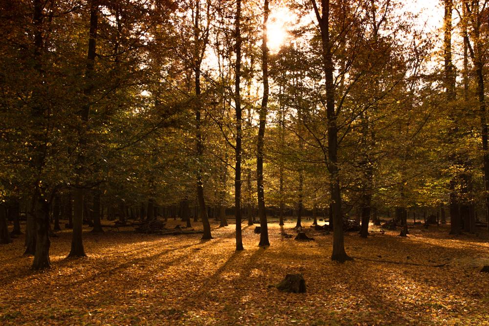 Herbstwald in Hambrücken