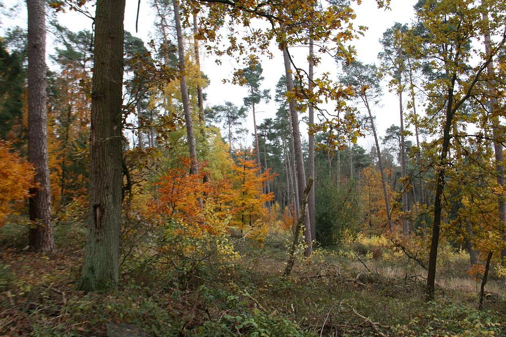 Herbstwald (Wiehengebirge bei Kalkriese)