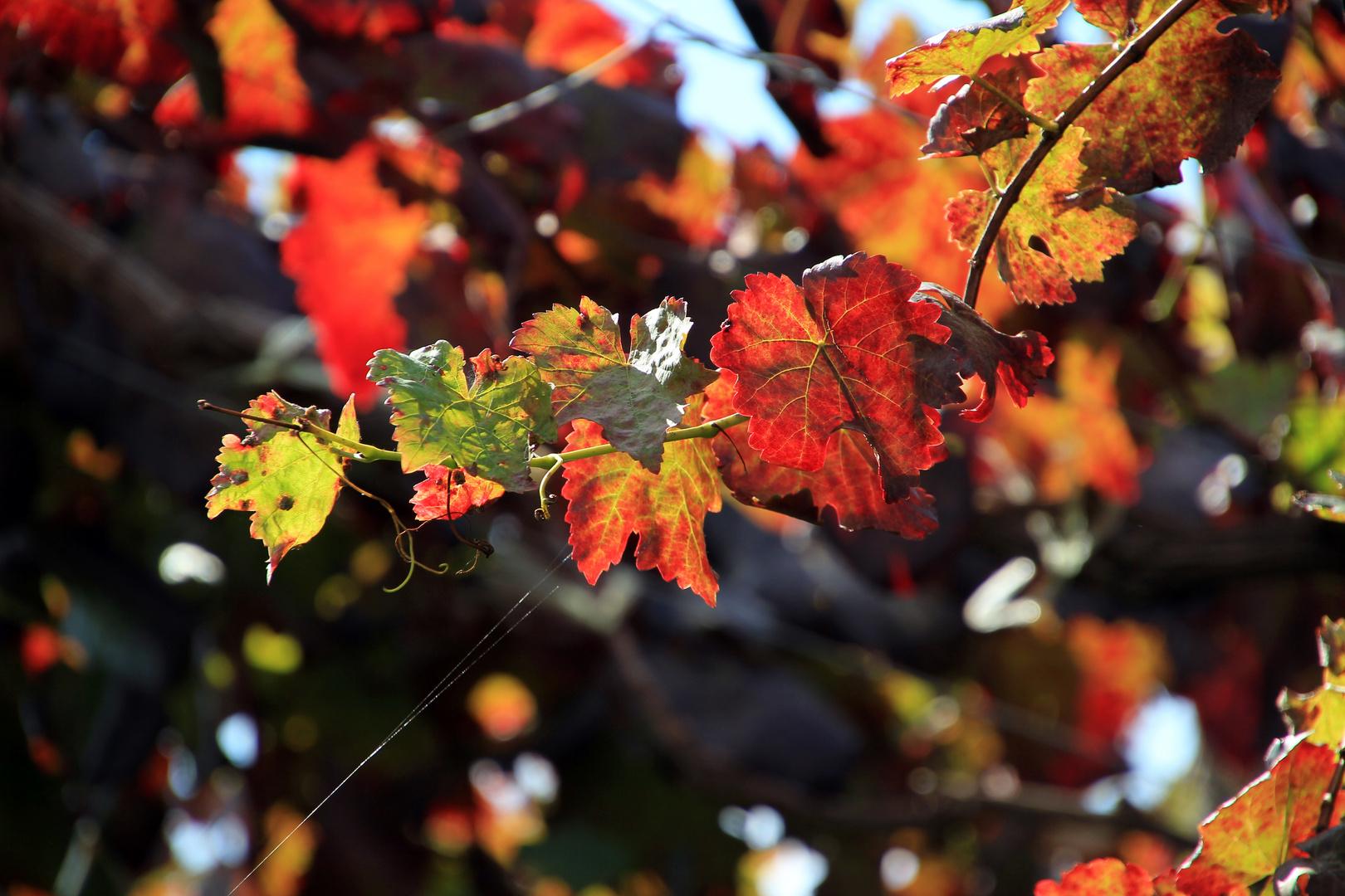 Herbst...Wein...Laub