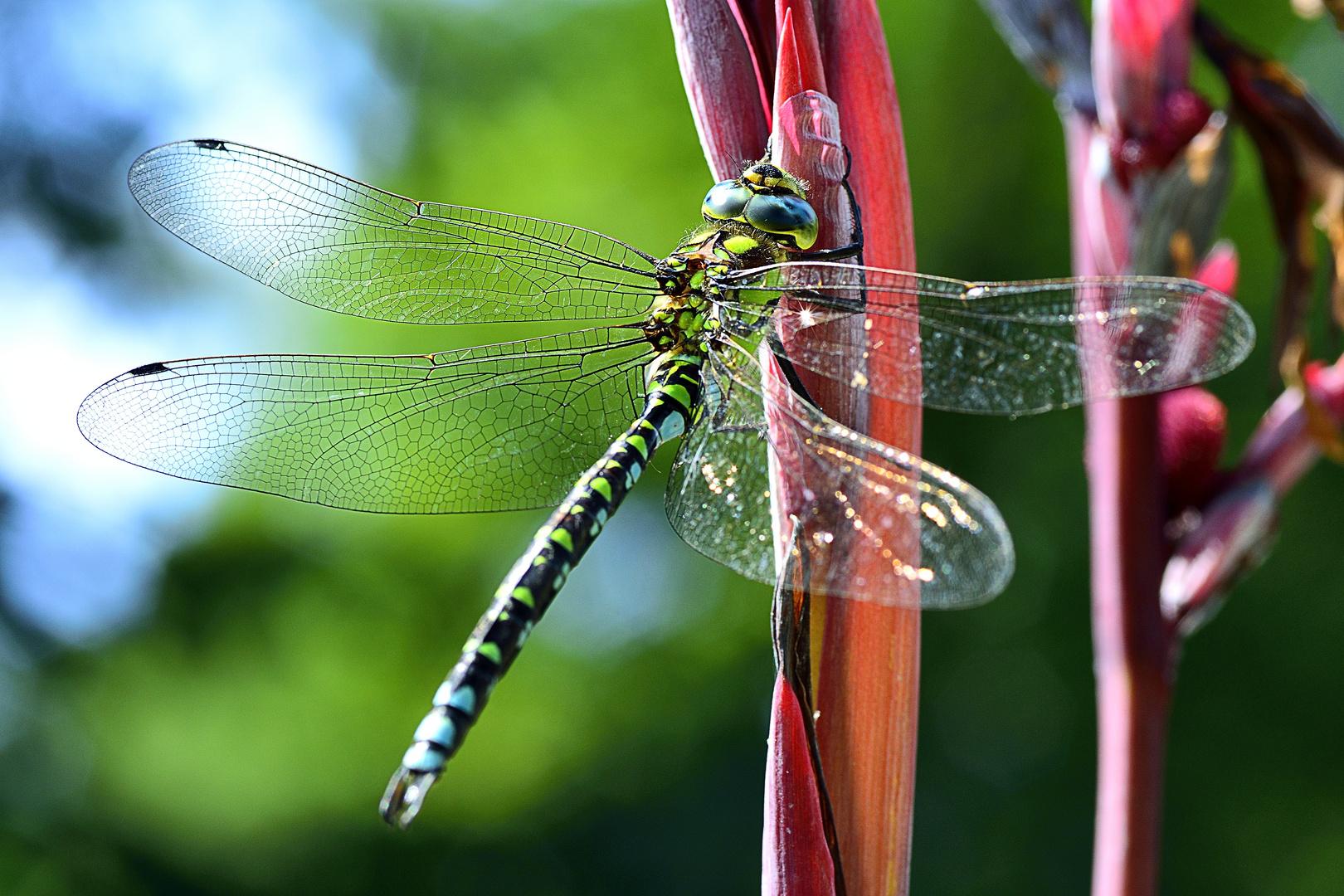 Herbstzeit-Libellenzeit