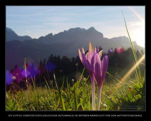 Herbstzeitlose am Wettersteingebirge (1)