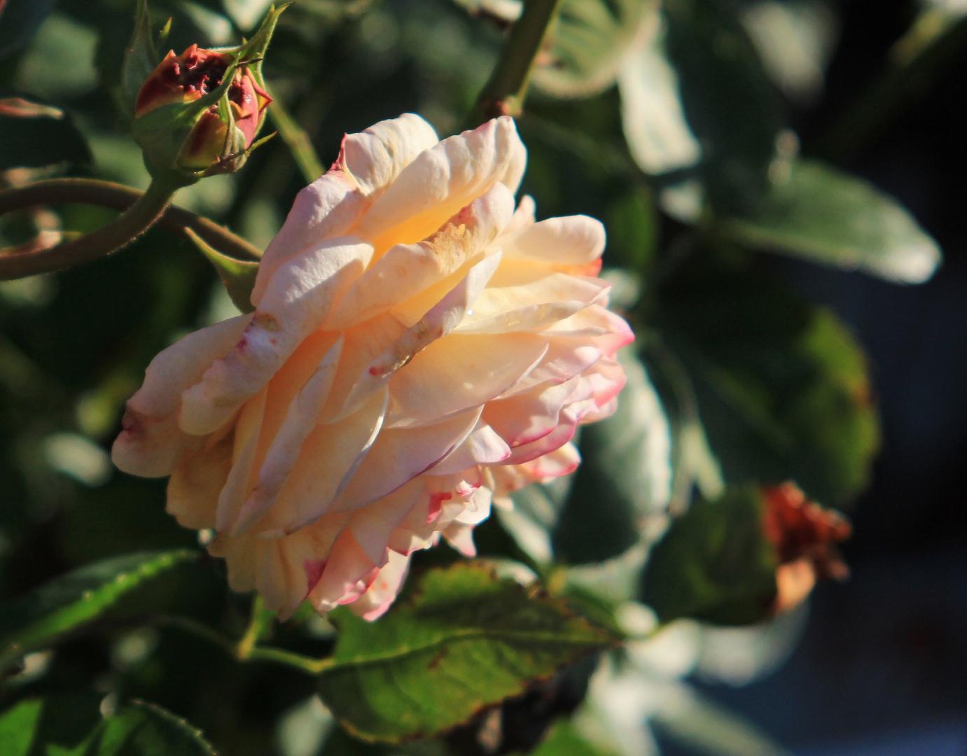 Herbstzeitrose (1)