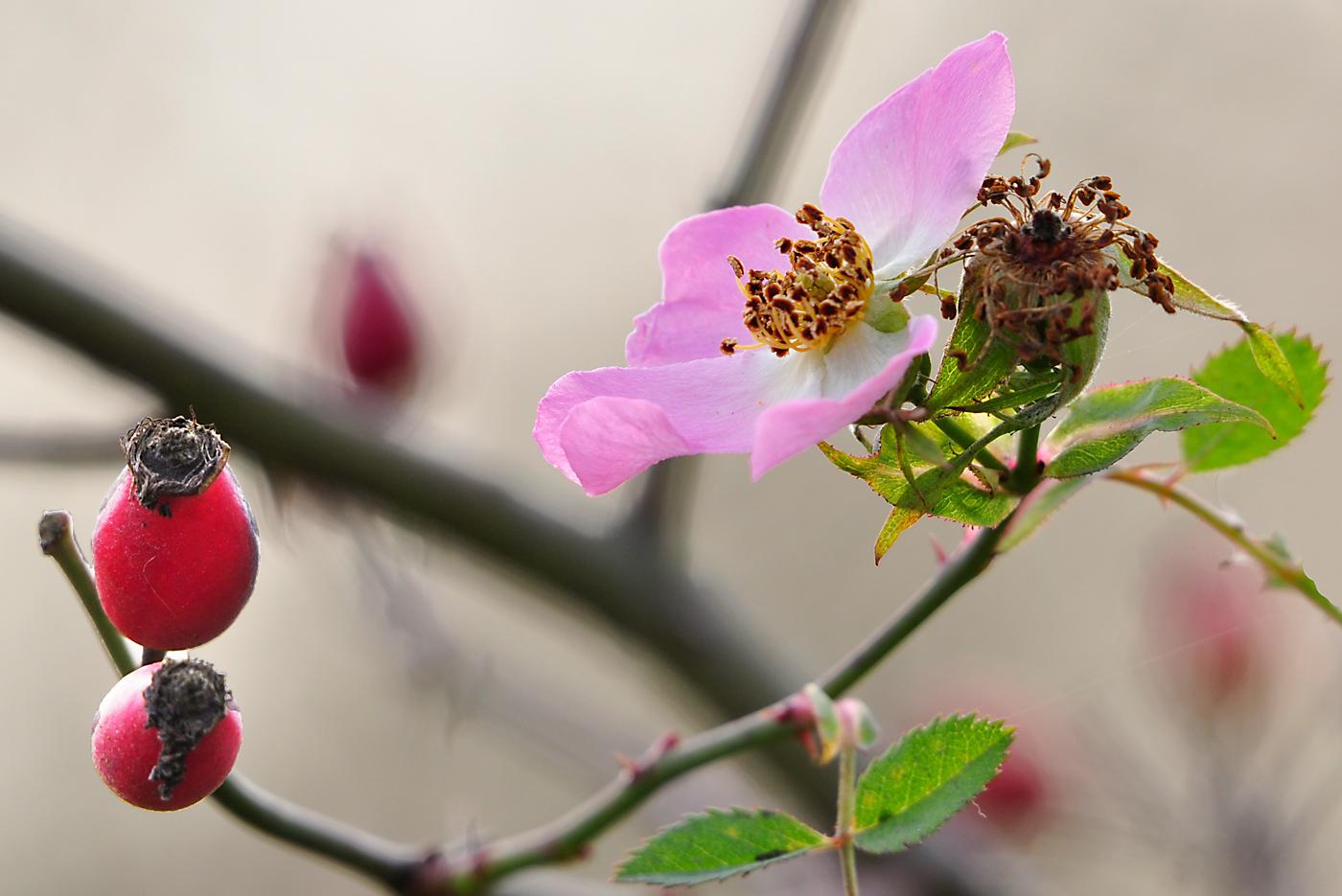 Herbst(zeit)rose