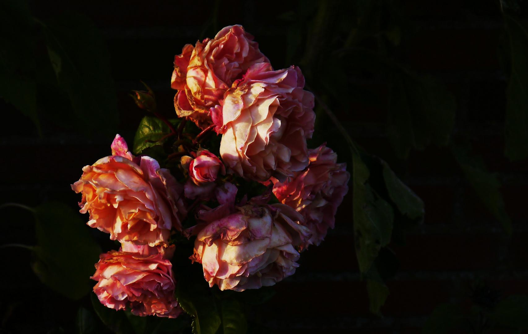 Herbstzeitrosen (2)