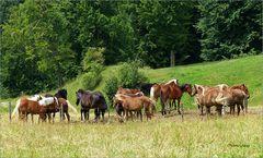 Herde - Pferde  beim Auerberg