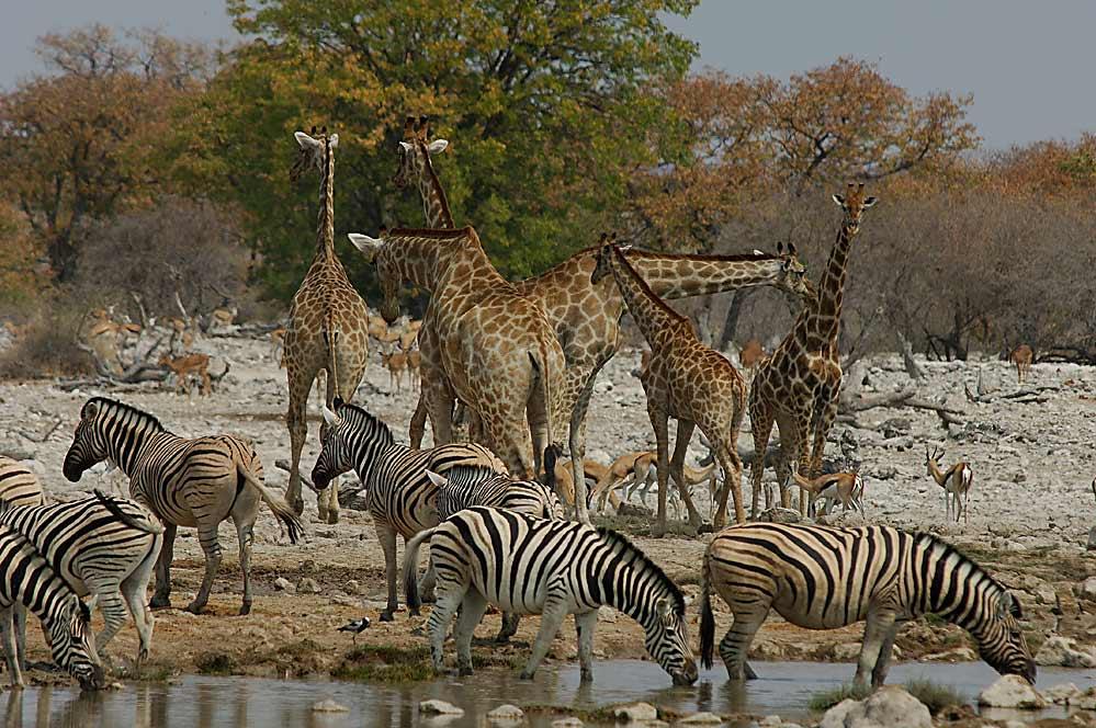 Herdentrieb ....welche Fülle.... Etoscha/Namibia