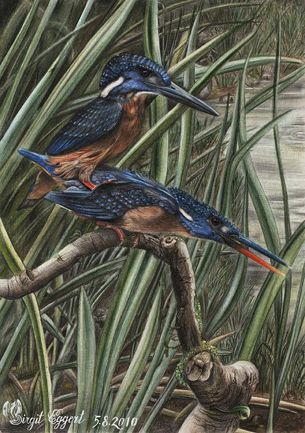 Herkuleseisvogel - Blyth´s Kingfisher - Alcedo Hercules
