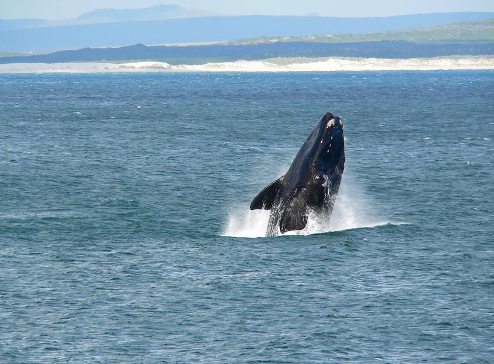 Hermanus, Whale Watching