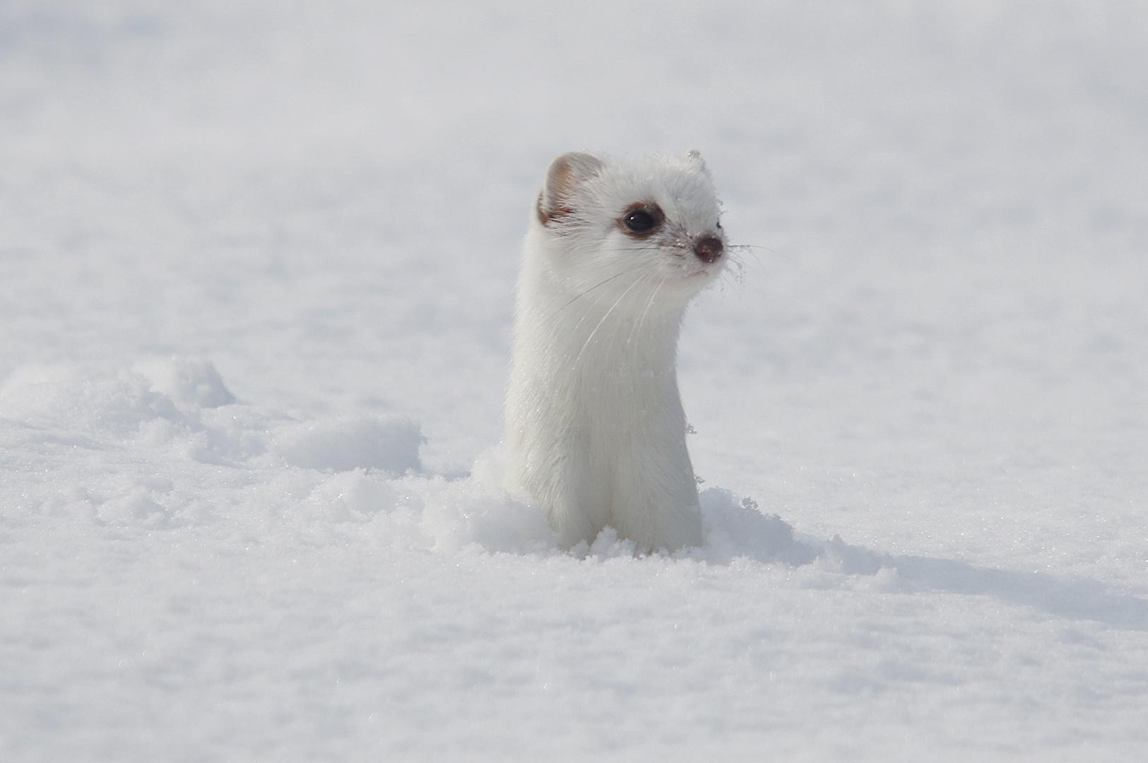 Hermelin im schnee foto bild tiere wildlife s ugetiere bilder auf fotocommunity - Schneebilder kostenlos ...