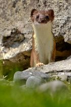 Hermelin im Sommerfell
