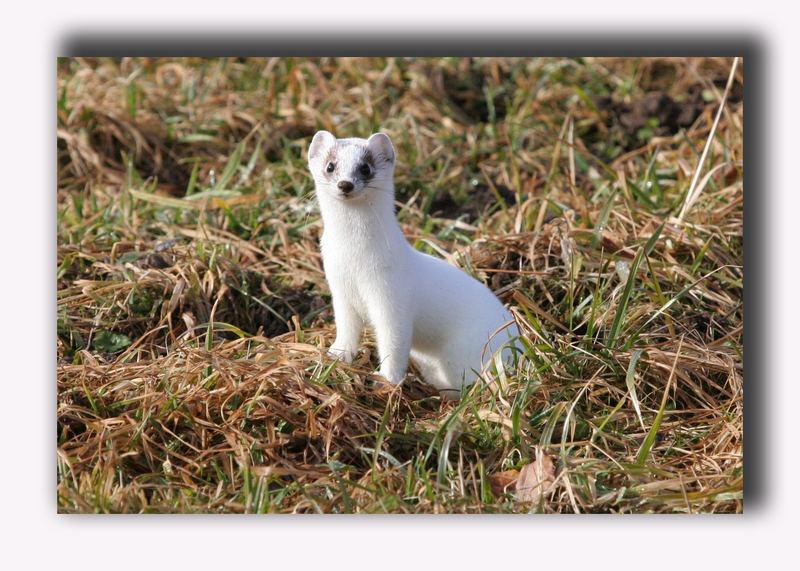 Hermelin (Mustela erminea)