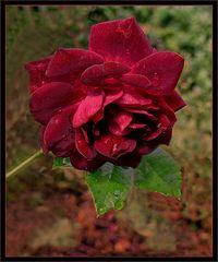 Hermosa   rosa bordeaux