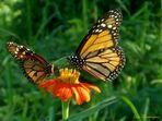 Hermosas Monarcas