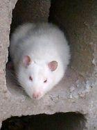hermoso ratoncito!