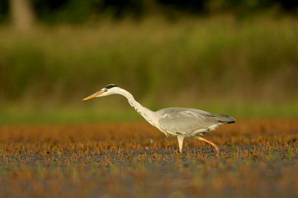 heron a la chasse
