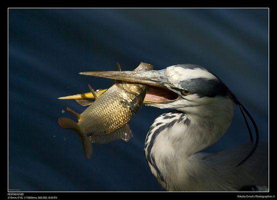 Héron à la pêche