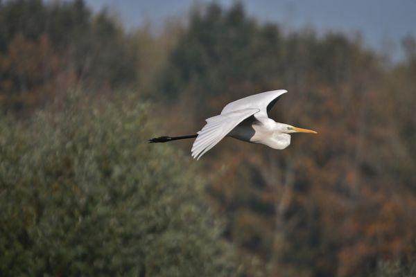 heron blanc