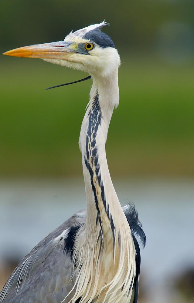 Heron cendé