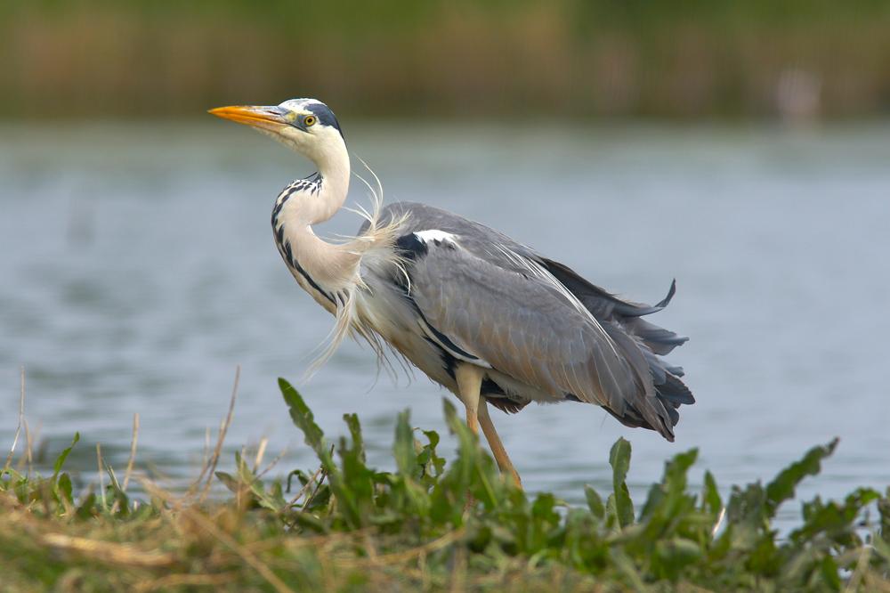 Heron cendré 2