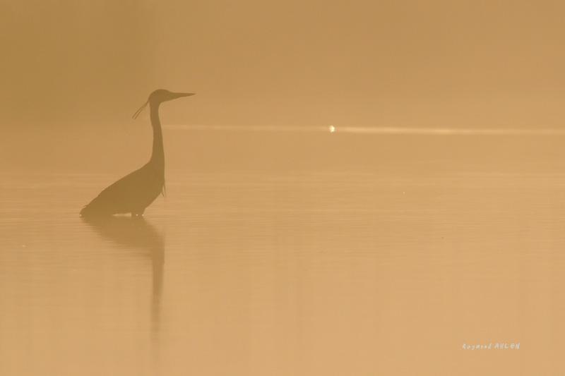 Héron cendré dans la brume matinale