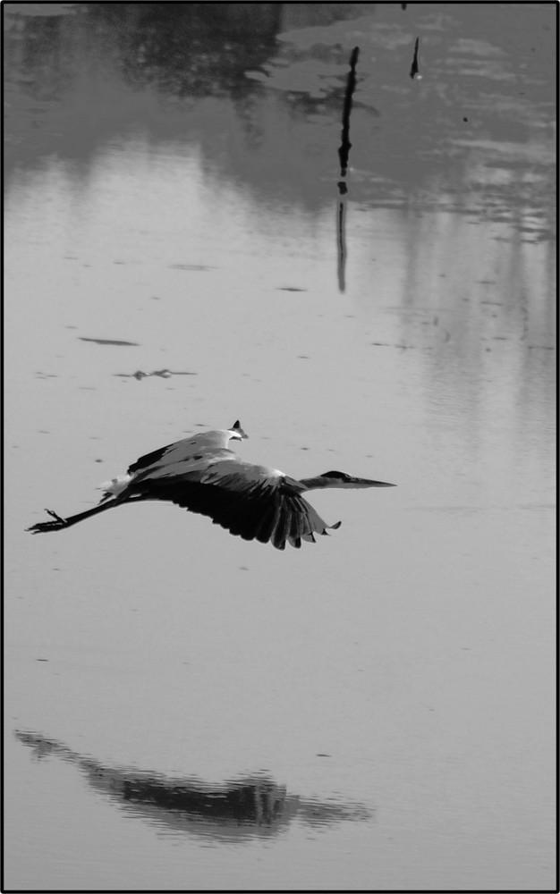 heron cendré ( lac du gué gorand )