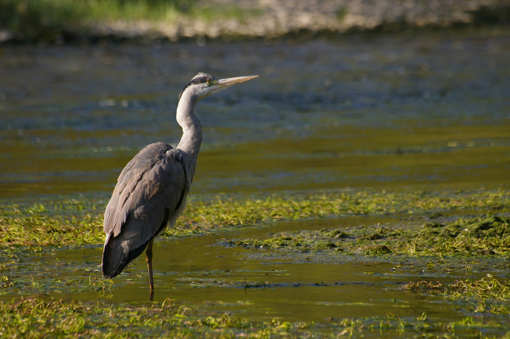 heron cendré sur la riviere semoy