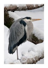 Heron in Winter
