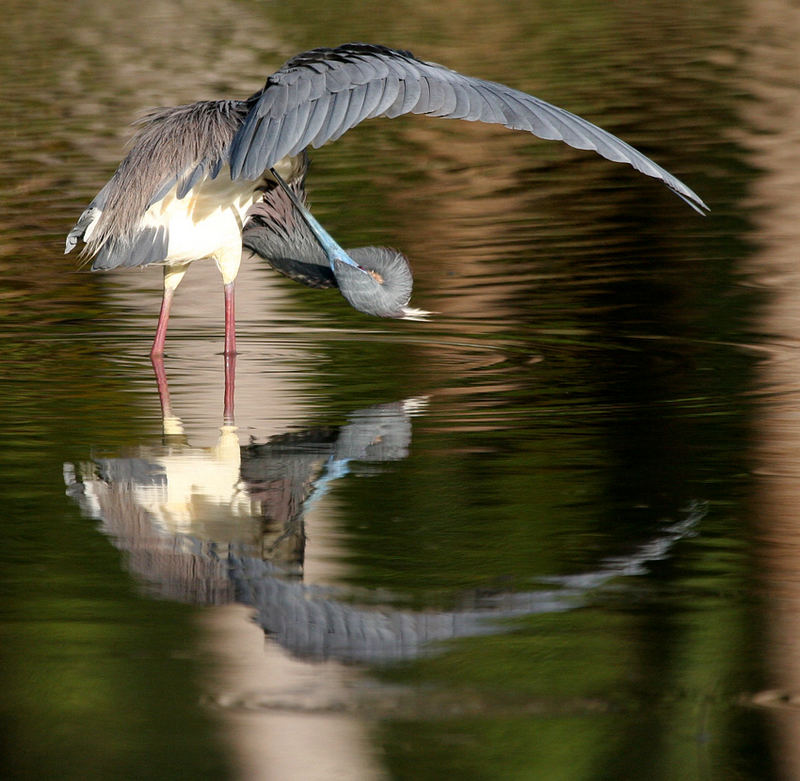 Heron mirrored