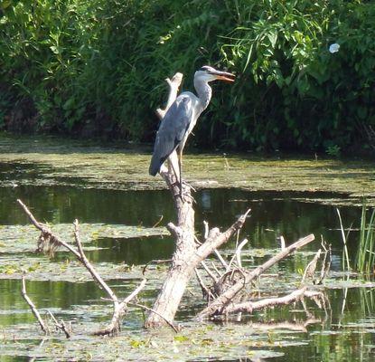 heron sur sa branche