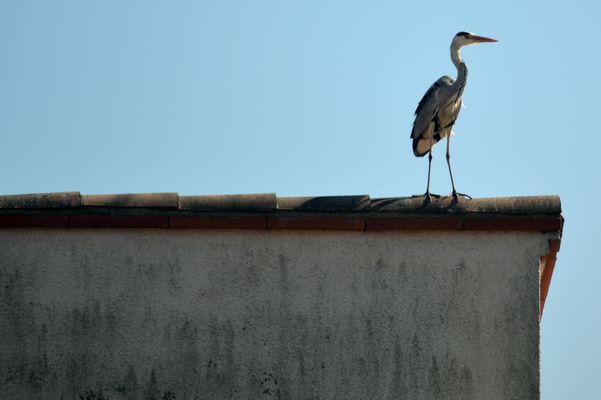 Héron sur un toit
