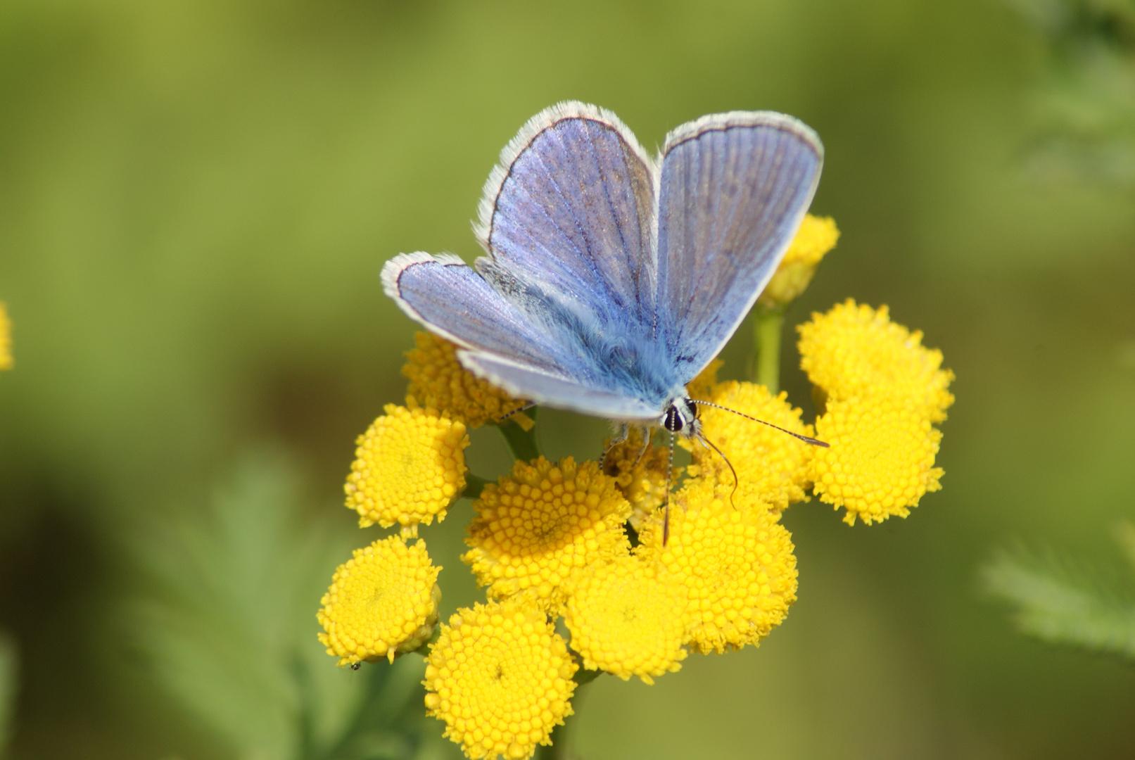 Herr Blau