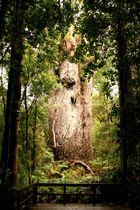 """""""Herr des Waldes"""" - ein Kauribaum"""