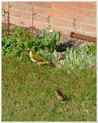 Herr Grünspecht und Herr Spatz: Besuch in meinem Garten