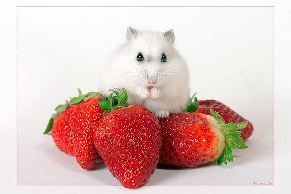 Herr Hildezart auf Erdbeerberg