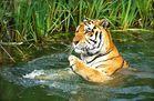 Herr Tiger nimmt ein Bad