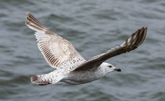 herring gull ...