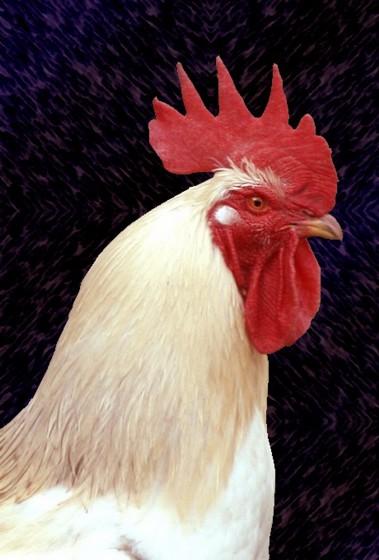 Herrscher über acht Hühner