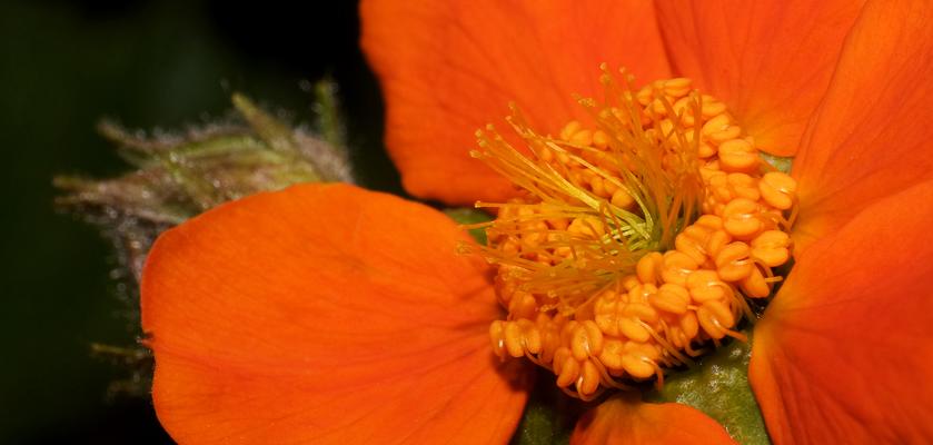 Herz der Blüte